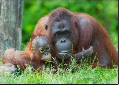 Print details - Eric Gevaert : mother orangutan with her baby