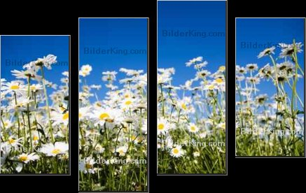 Print details - Kati Finell : Field of daisies against bright blue sky