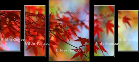 Print details - felinda : japanese red maple in autumn